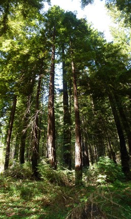 Redwood forest san vicente