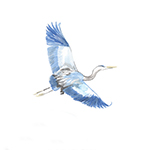 great-blue-heron_post