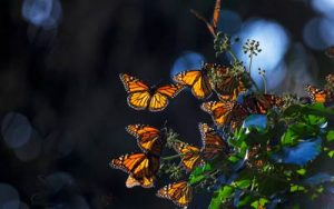 natural_bridges_monarch_POST