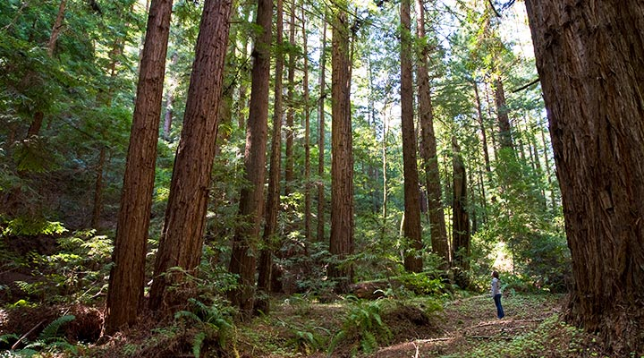 A hiker looks up at towering redwoods.